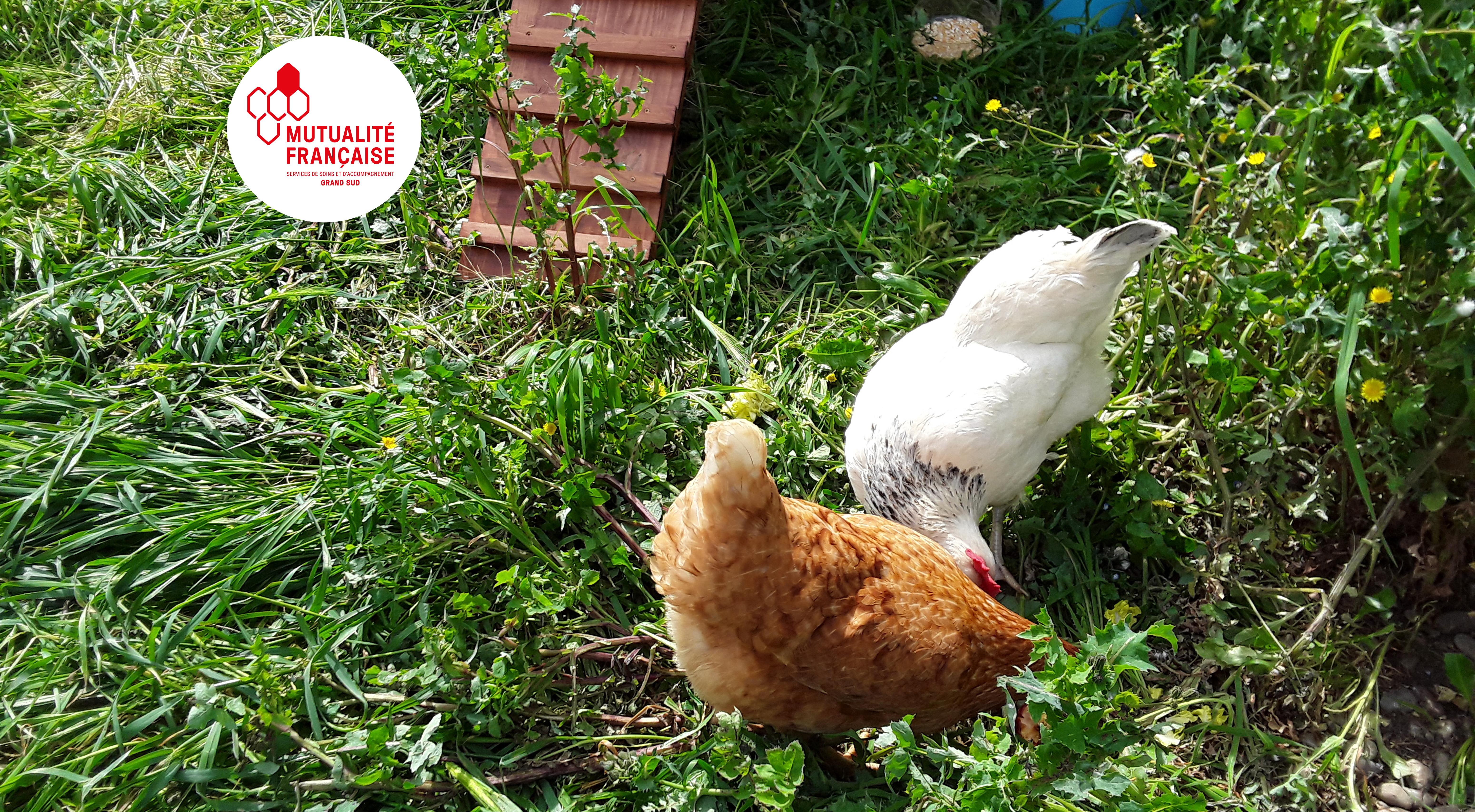 Des poules donnent le sourire aux résidents de la Roselière